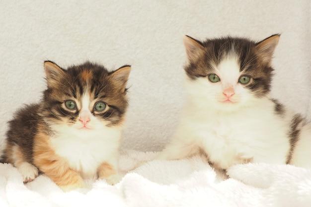 Deux chatons moelleux mignons aux yeux verts sur fond blanc. espace de copie.