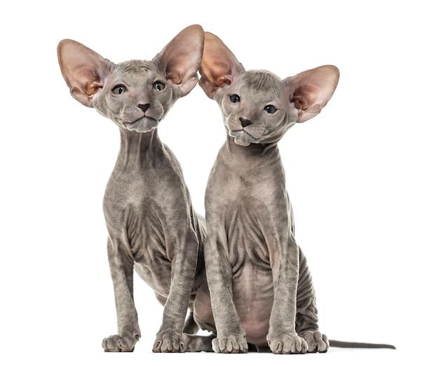 Deux chatons peterbald, isolés sur blanc