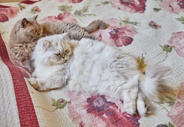 Deux chats britanniques, à poil long et à poil court, sont assis sur le lit.