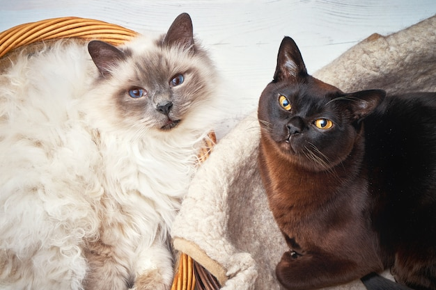 Deux chats dans un panier en osier
