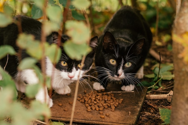 Deux chats noirs et blancs sans abri mangent de la nourriture sèche dans des buissons à l'extérieur, concept d'animaux abandonnés