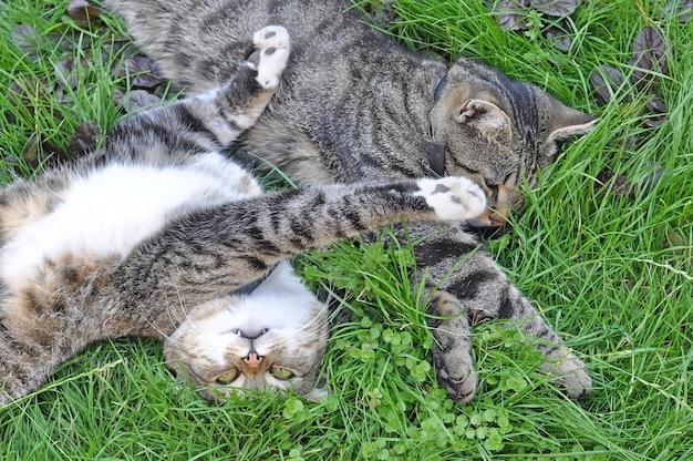 Deux chats tabby drôles couchés sur l'herbe verte