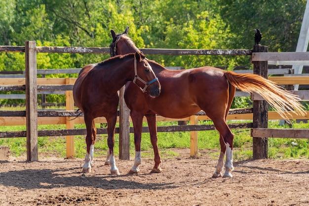 Deux chevaux bai dans un enclos d'été au milieu d'un feuillage vert