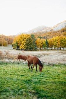 Deux chevaux bruns paissent sur un pré vert contre la forêt d'automne jaune