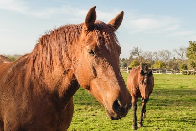 Deux chevaux dans une ferme se bouchent. fond de rquine rural