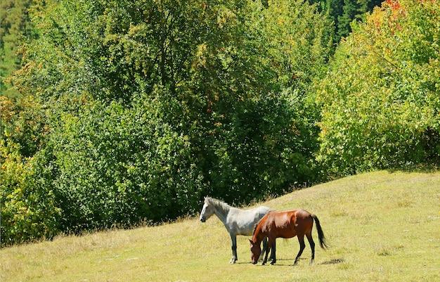 Deux chevaux sur le versant de la montagne de mestia highland dans la région de svaneti en géorgie