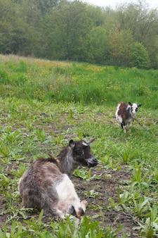 Deux chèvres sur pré vert