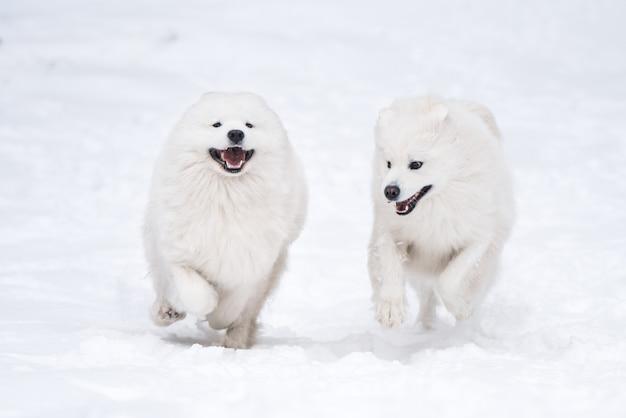 Deux chiens blancs samoyèdes jouent dans la forêt d'hiver