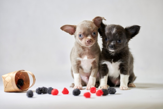 Deux chiens chihuahua mignon chiot