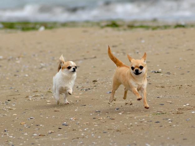 Deux chiens chihuahua mignons sur la plage