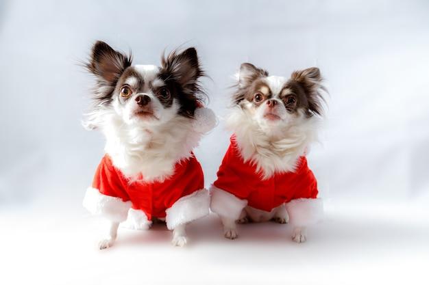 Deux chiens chihuahua portant un costume de père noël rouge regarde la caméra. isolé sur fond blanc.