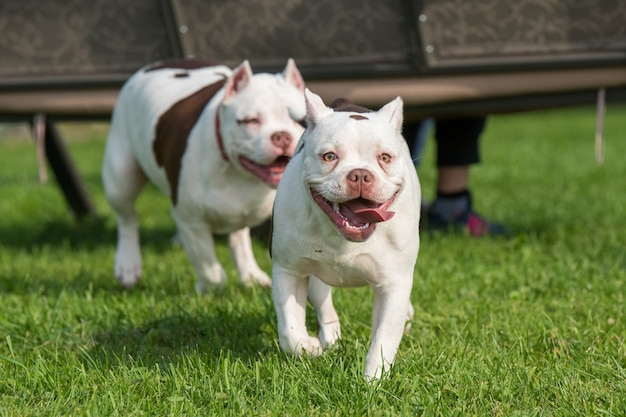 Deux chiens chiots american bully jouent