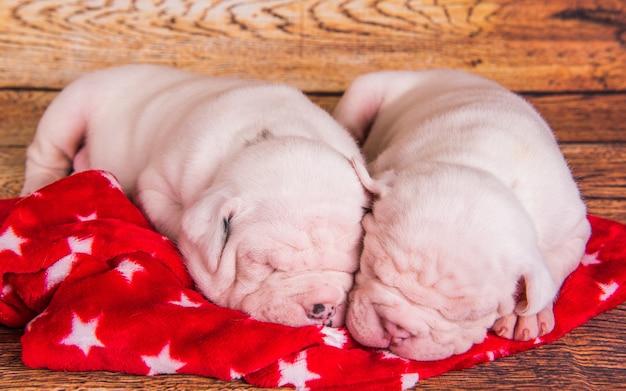 Deux chiens chiots funny american bulldog dorment