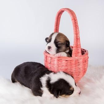 Deux chiens chiots pembroke welsh corgi sur panier isolé sur fond blanc