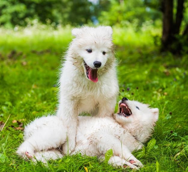 Deux chiens chiots samoyède blanc moelleux drôle jouent sur l'herbe verte