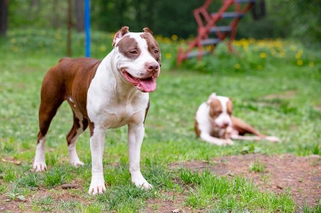 Deux chiens cutes jouant ensemble à l'extérieur sur l'herbe verte.