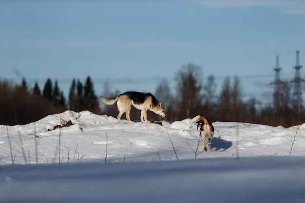 Deux chiens drôles jouant ensemble sur le champ de neige d'hiver dehors