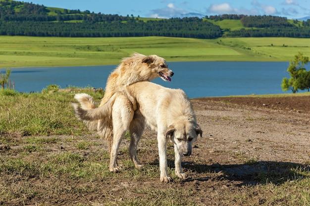 Deux chiens font l'amour et le sexe, l'amour et le sexe de deux chiens