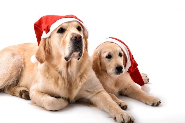 Deux chiens golden retriever avec des chapeaux de père noël