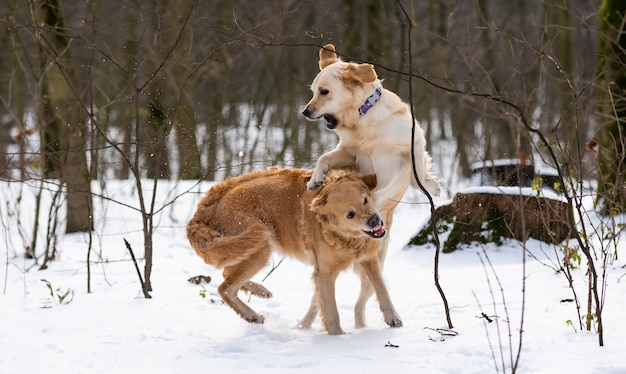 Deux chiens golden retriever placant ensemble sautant et montrant leurs dents pendant la marche hivernale dans la neige