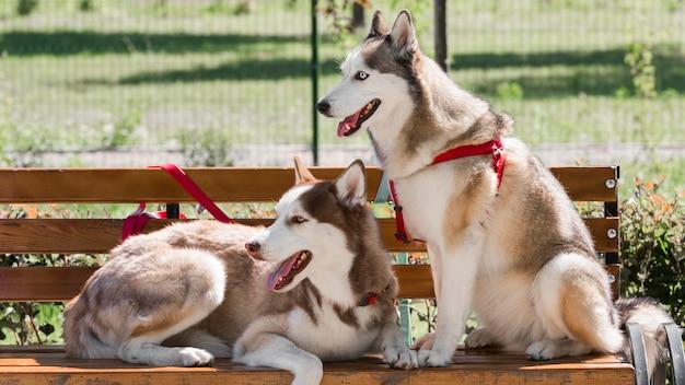 Deux chiens husky sur un banc dans le parc