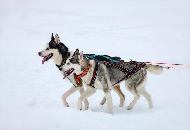Deux chiens husky dans la neige en compétition