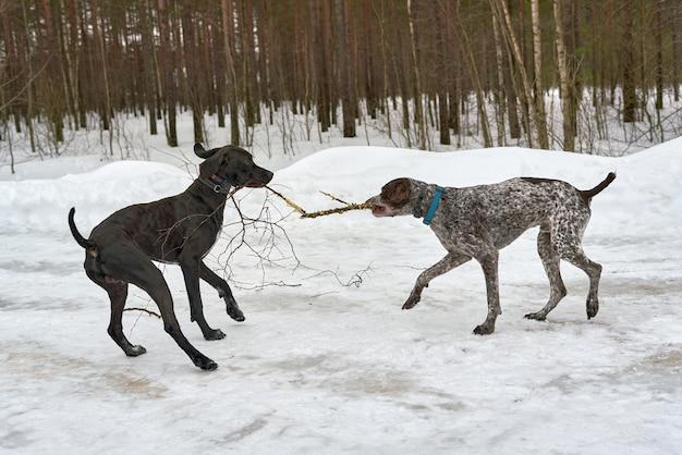 Deux chiens jouent en tirant une branche dans la forêt d'hiver