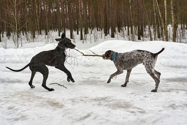 Deux chiens jouent en tirant une branche dans un parc d'hiver