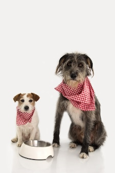 Deux chiens manquant de la nourriture. jack russell et sheepdog s'assis à proximité d'un bol