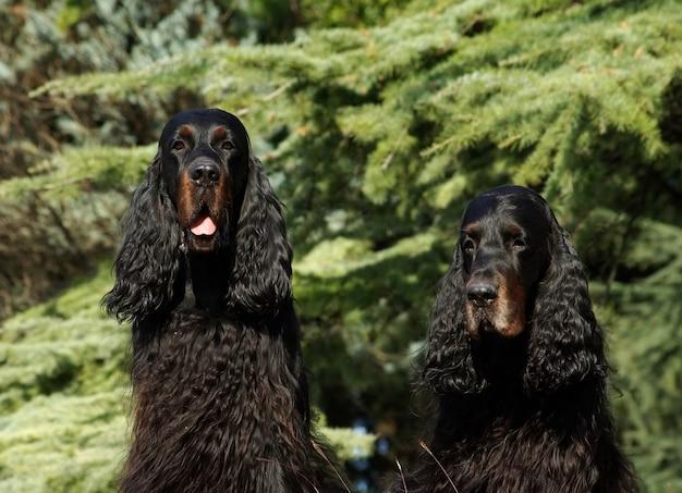 Deux chiens noirs anglais