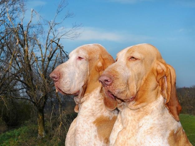 Deux chiens de race dans le pré, italien bracco.