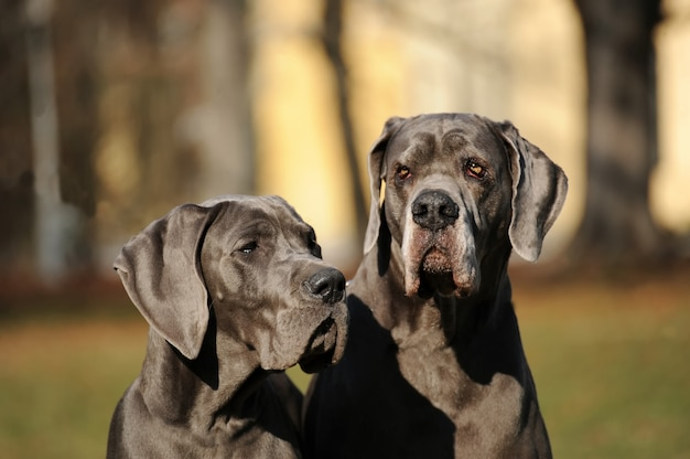 Deux chiens de race dogue allemand