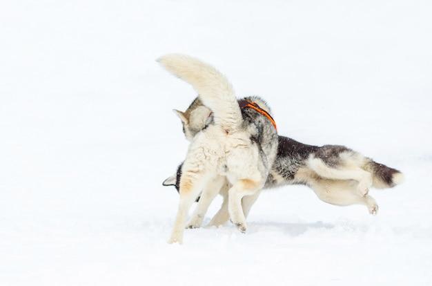 Deux chiens de race husky sibérien jouent l'un avec l'autre.