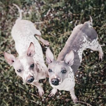 Deux chiens de terrier américains sans poils se tiennent sur l'herbe et lèvent les yeux