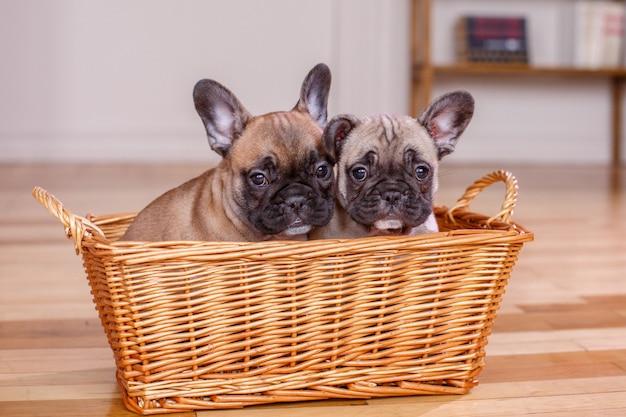 Deux chiots bouledogue français assis dans un panier