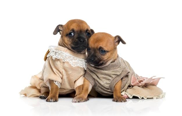 Deux chiots chihuahuas habillés