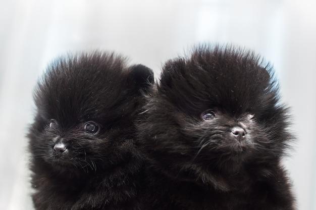 Deux chiots spitz noirs se bouchent