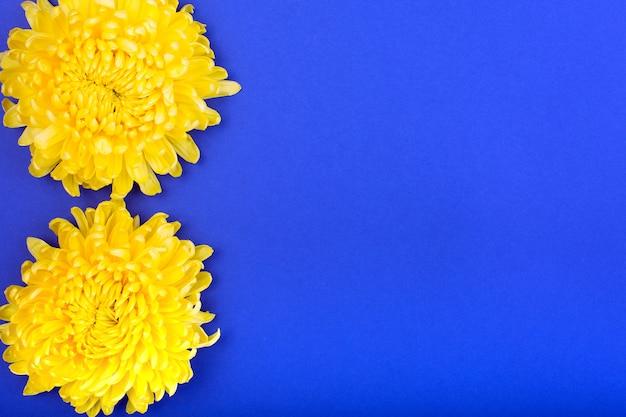 Deux chrysanthèmes jaunes sur fond bleu