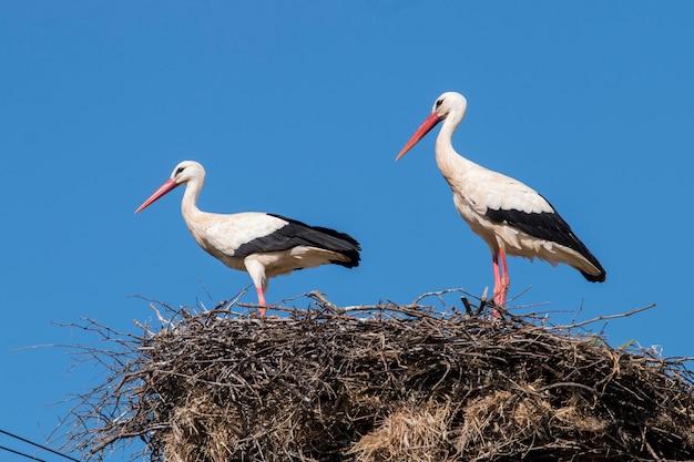Deux cigognes blanches sur le nid