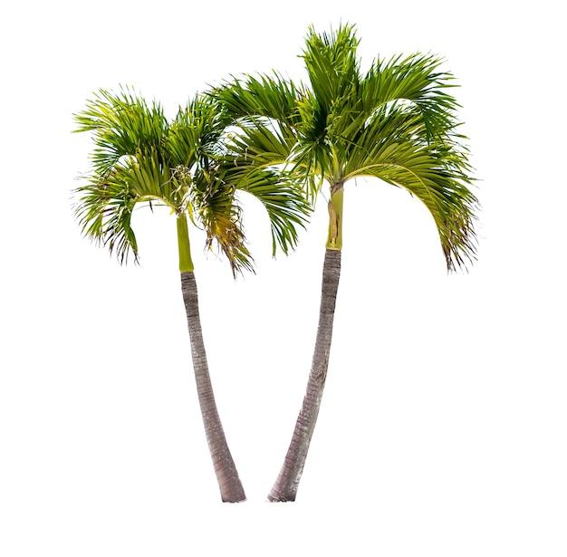 Deux cocotiers isolés sur fond blanc