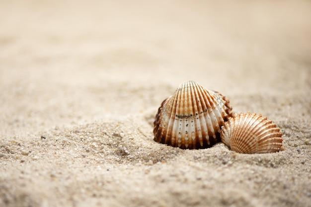 Deux coquillages ridée s'étendent sur la plage sablonneuse, fond marin d'été
