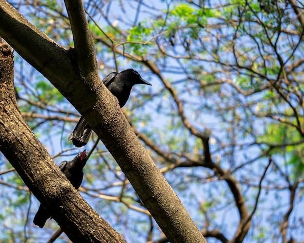 Deux corbeaux sur la branche en train de parler
