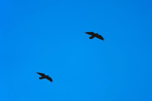 Deux corbeaux noirs volent l'un après l'autre sur le fond de ciel bleu clair
