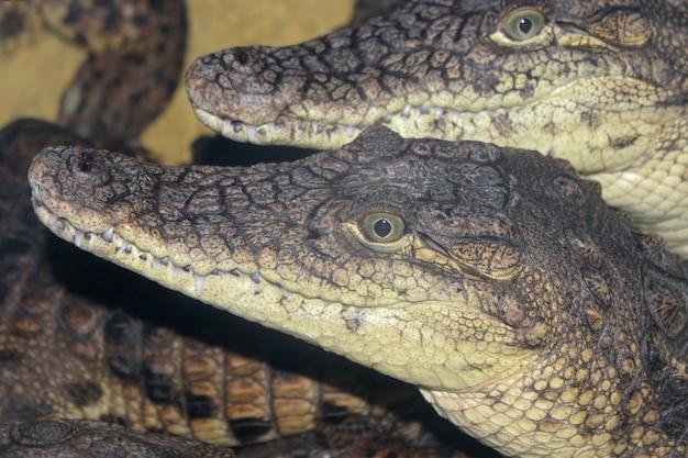 Deux crocodiles du nil se bouchent.
