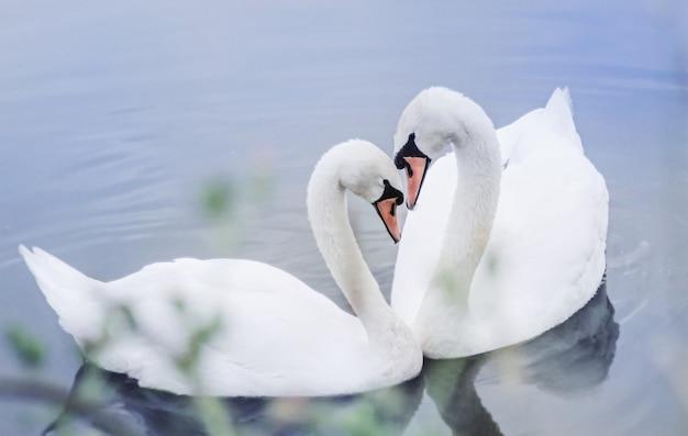 Deux cygnes blancs nagent dans l'étang