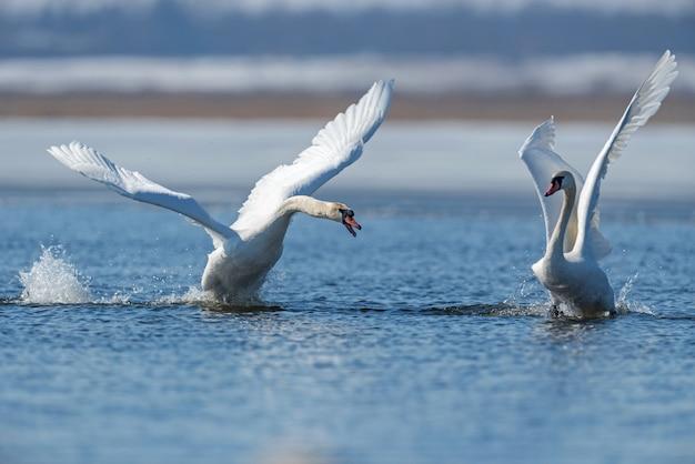 Deux cygnes mâles, cygnus olor, lors d'un combat pour la suprématie dans la saison des amours sur la rivière