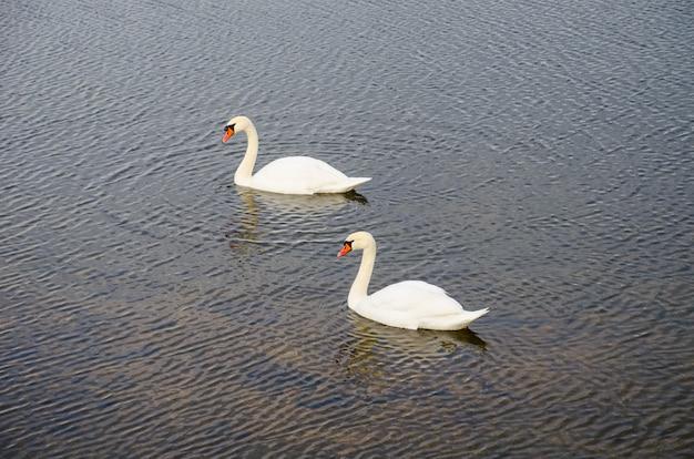 Deux cygnes sur la rivière près de la glace