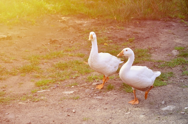 Deux drôles d'oies blanches marchent le long du terrain d'herbe sale