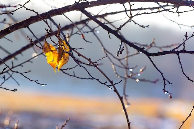 Deux feuilles jaunes humides sur une branche d'arbre pendant la pluie à l'automne