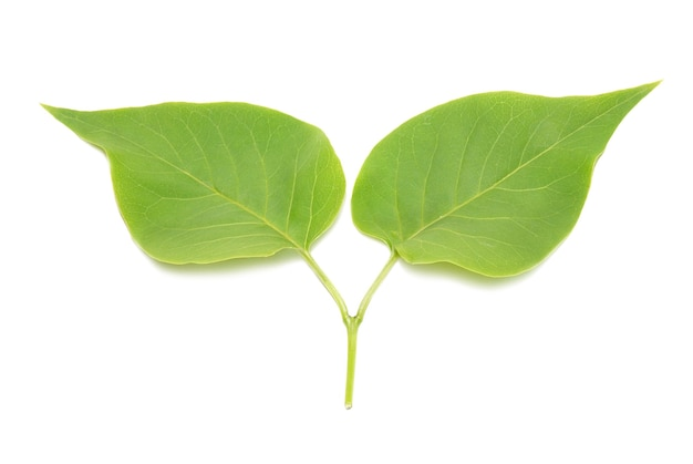 Deux feuilles de lilas vert isolés.